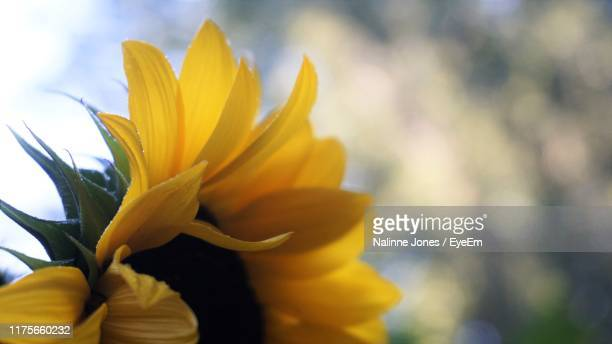 close-up of yellow flowering plant - soft focus stock pictures, royalty-free photos & images