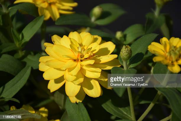 close-up of yellow flowering plant - thai mueang photos et images de collection