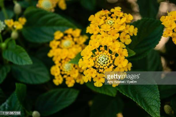 close-up of yellow flowering plant - lantana stock pictures, royalty-free photos & images