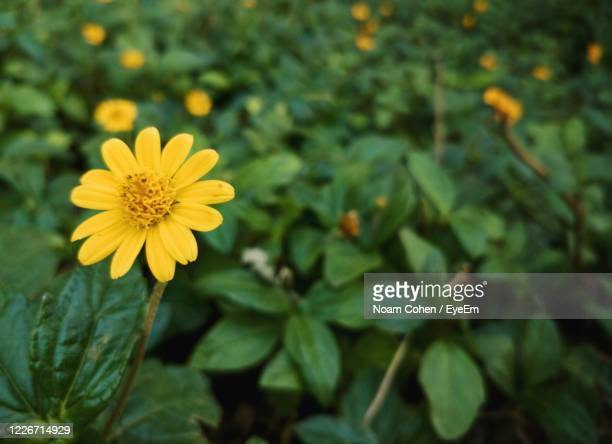 close-up of yellow flowering plant - noam cohen stock pictures, royalty-free photos & images