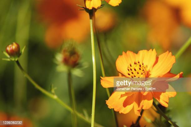 close-up of yellow flowering plant - new orleans city park stock pictures, royalty-free photos & images