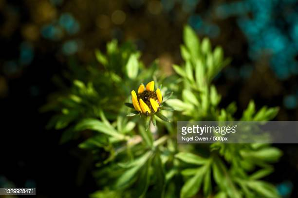 close-up of yellow flowering plant - nigel owen stock pictures, royalty-free photos & images