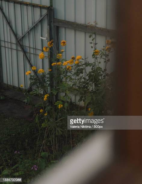 close-up of yellow flowering plants by building,russia - nikitina stock pictures, royalty-free photos & images