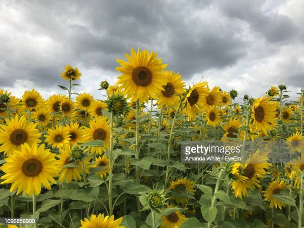 close-up of yellow flowering plants on field against cloudy sky - amanda and amanda stock pictures, royalty-free photos & images