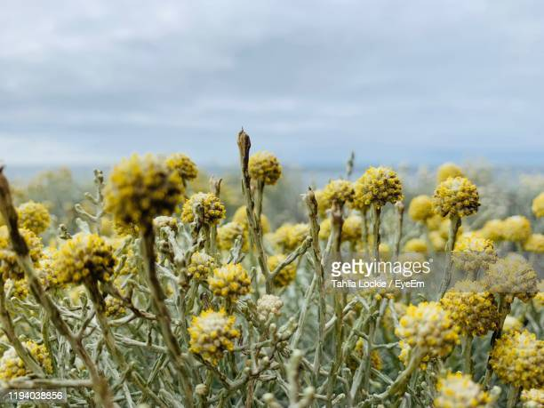 close-up of yellow flowering plants on field against sky - torquay,_victoria stock pictures, royalty-free photos & images