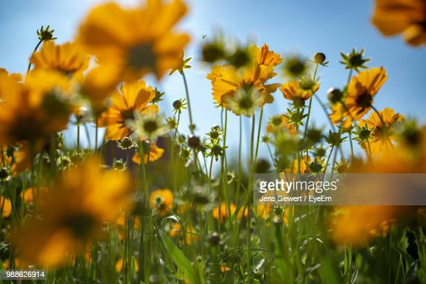 close-up of yellow flowering plants on field against sky - jens siewert stock-fotos und bilder