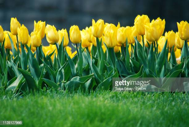 close-up of yellow flowering plants on field - tolga erbay stock photos and pictures