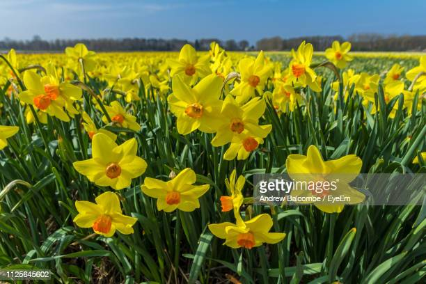 close-up of yellow flowering plants on field - field of daffodils stock pictures, royalty-free photos & images