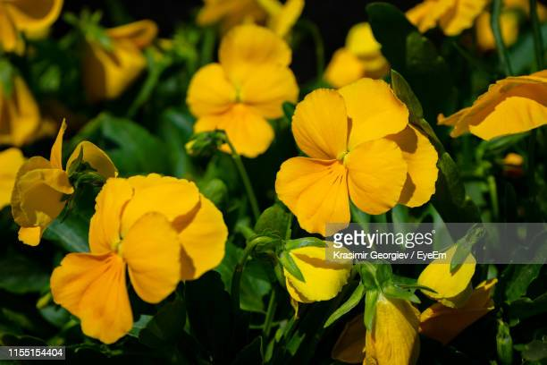 close-up of yellow flowering plants on field - krasimir georgiev stock photos and pictures