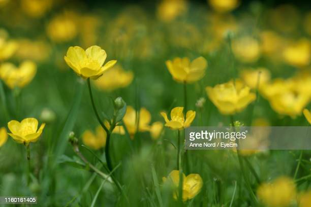 close-up of yellow flowering plants on field - buttercup stock pictures, royalty-free photos & images
