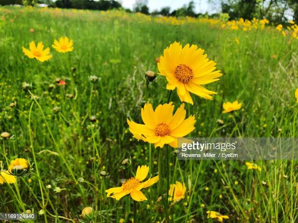 close-up of yellow flowering plants on field - rowena miller stock photos and pictures
