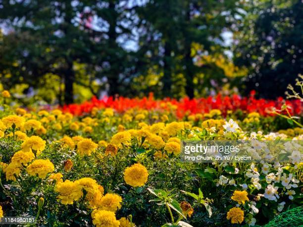 close-up of yellow flowering plants on field - miyagi prefecture stock pictures, royalty-free photos & images