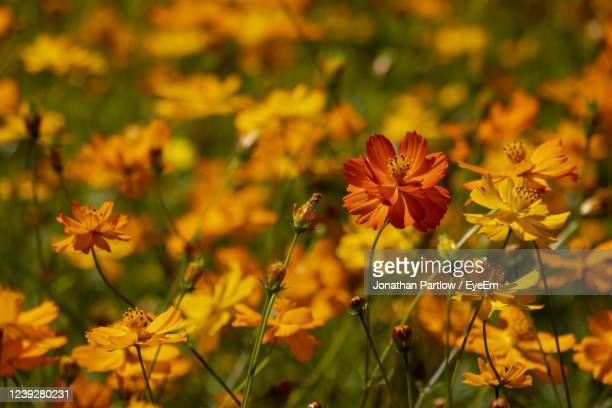 close-up of yellow flowering plants on field - new orleans city park stock pictures, royalty-free photos & images