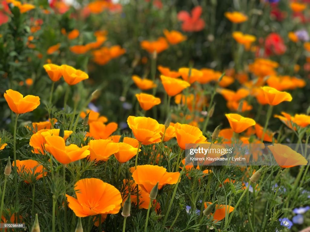 Closeup Of Yellow Flowering Plants On Field Stock Photo Getty Images