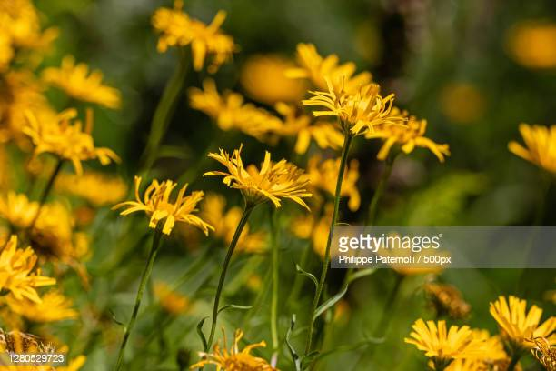 close-up of yellow flowering plants on field,saverne,france - fleur flore stock pictures, royalty-free photos & images