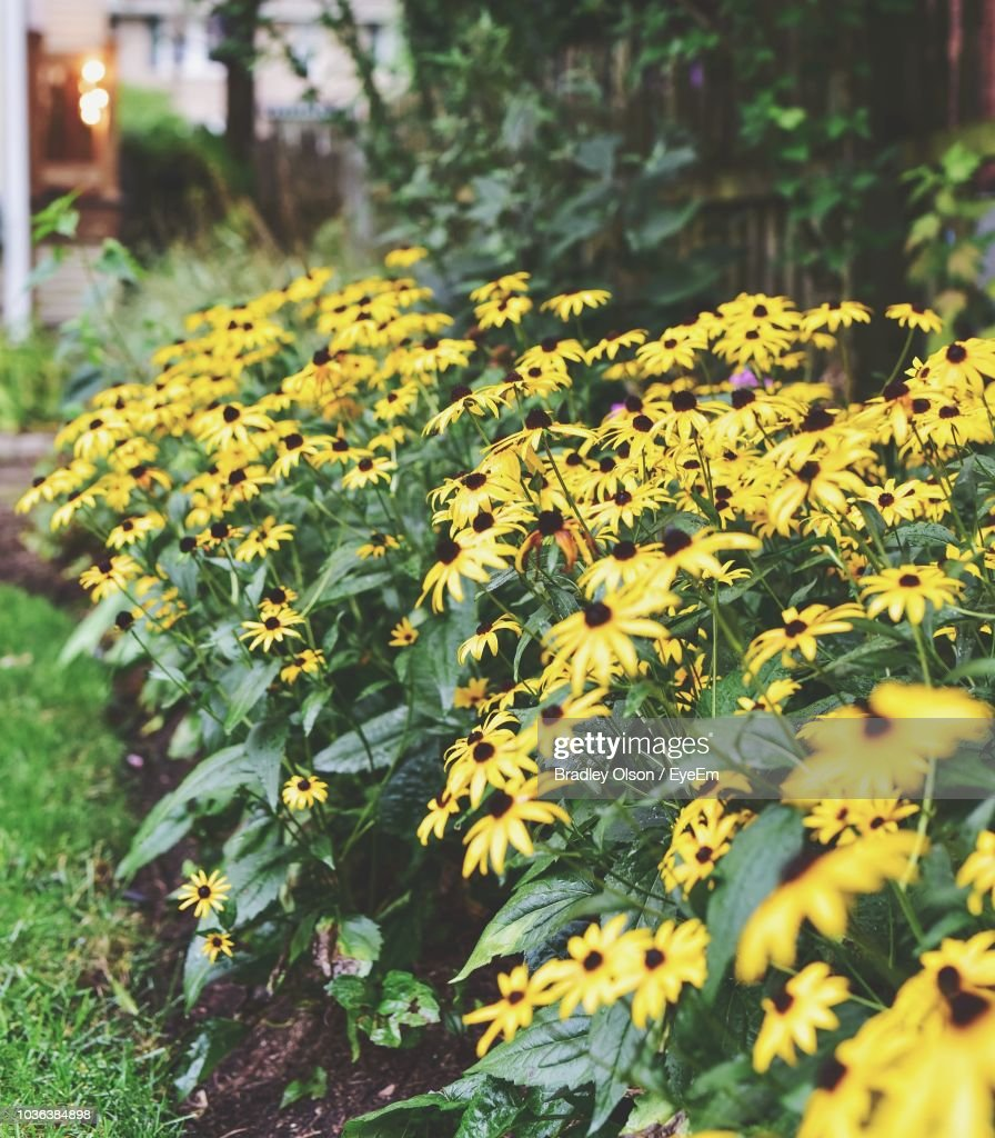 Closeup Of Yellow Flowering Plants Stock Photo Getty Images