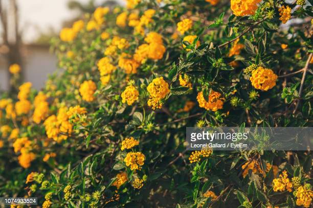 close-up of yellow flowering plants - lantana stock pictures, royalty-free photos & images