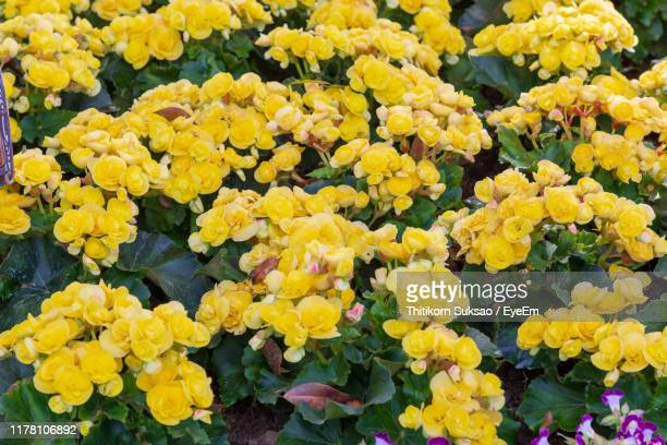 close-up of yellow flowering plants - begonia stock pictures, royalty-free photos & images