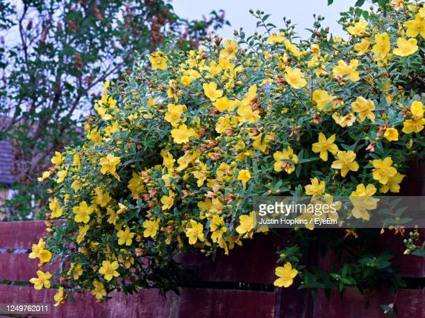 Rose Of Sharon Shrub Photos and Premium High Res Pictures ...