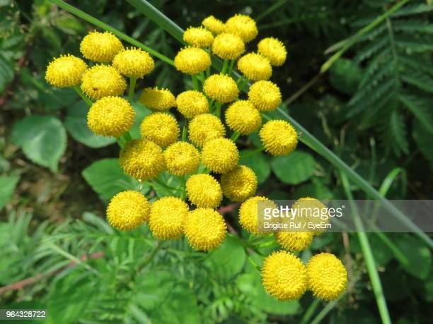 close-up of yellow flowering plants - tansy stock pictures, royalty-free photos & images