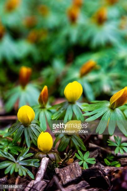 close-up of yellow flowering plant,sarnia,ontario,canada - サルニア ストックフォトと画像