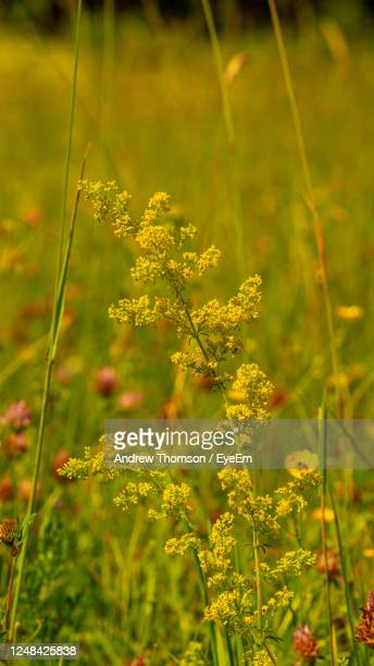 close-up of yellow flowering spring grass plant for nature image texture background - biodiversity stock pictures, royalty-free photos & images