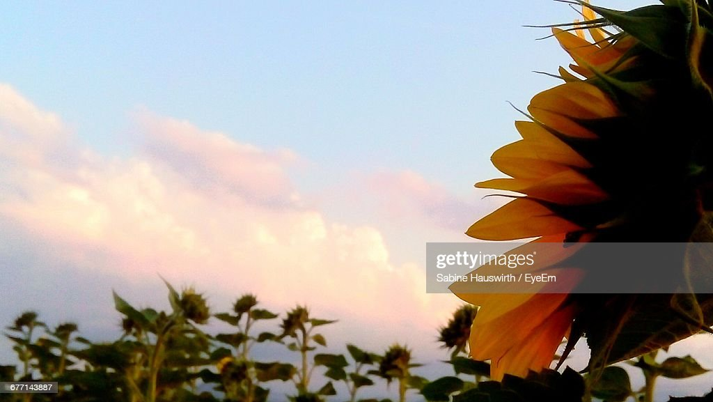 Close-Up Of Yellow Flowers Against Clear Sky : Stock-Foto