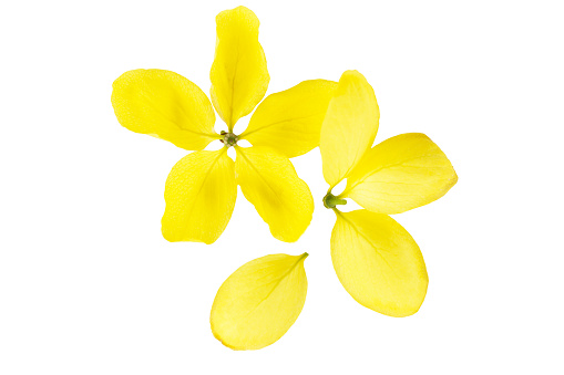 Close-Up Of Yellow Flowers Against White Background - gettyimageskorea