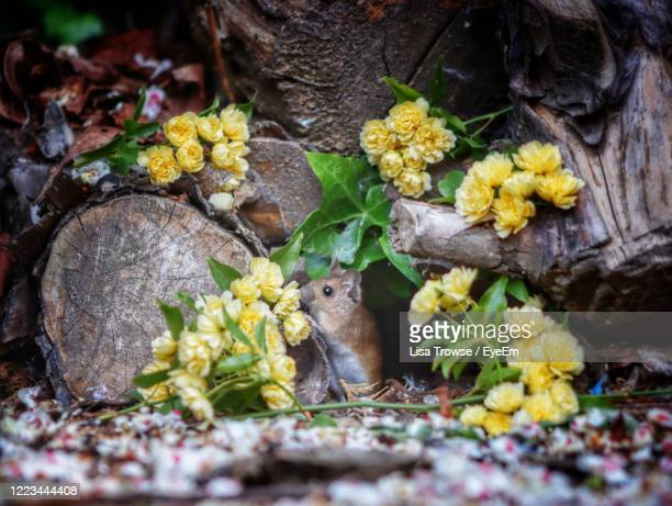 close-up of yellow flowers and mouse - esher stock pictures, royalty-free photos & images