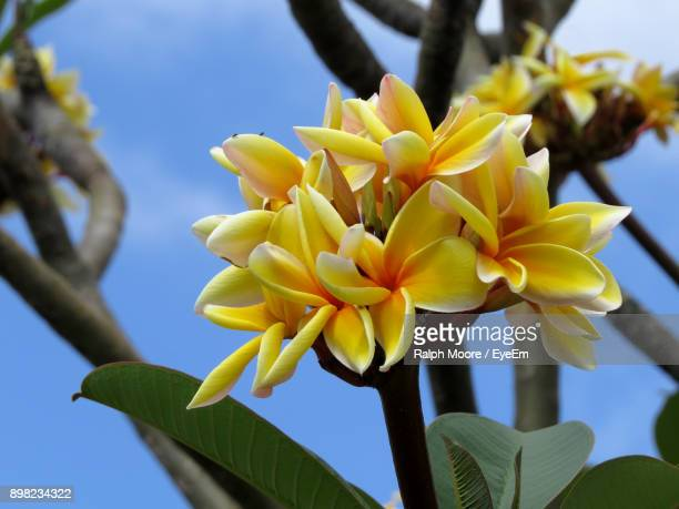 close-up of yellow flowers blooming against sky - tahiti stock pictures, royalty-free photos & images
