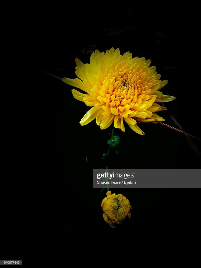 Closeup Of Yellow Flowers Blooming At Night Stock Photo Getty Images