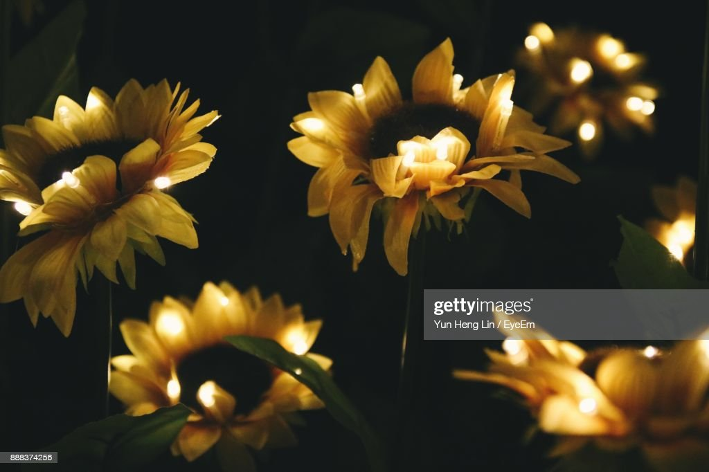 Closeup of yellow flowers blooming at night stock photo getty images close up of yellow flowers blooming at night stock photo mightylinksfo
