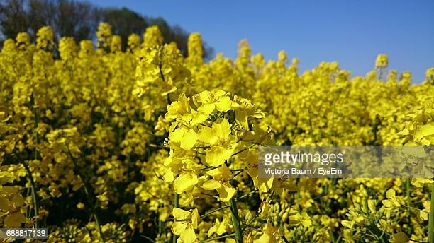 close-up of yellow flowers blooming in field - baum stock pictures, royalty-free photos & images