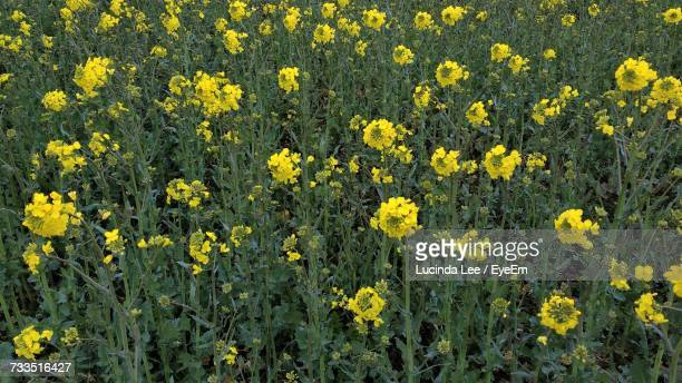 close-up of yellow flowers blooming in field - lucinda lee stock photos and pictures