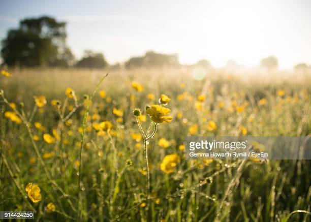 close-up of yellow flowers blooming in field - buttercup stock pictures, royalty-free photos & images