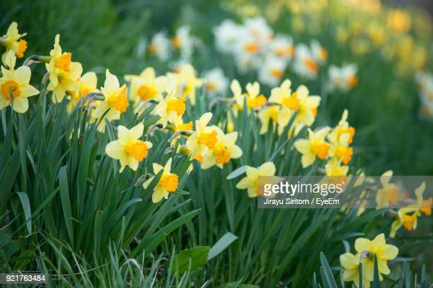 close-up of yellow flowers blooming in field - field of daffodils stock pictures, royalty-free photos & images