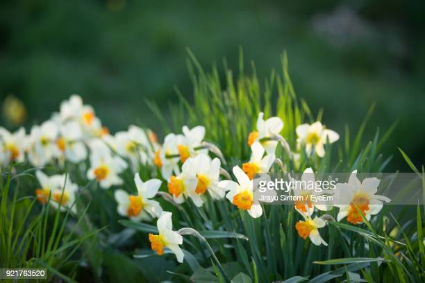 close-up of yellow flowers blooming in field - daffodils stock photos and pictures