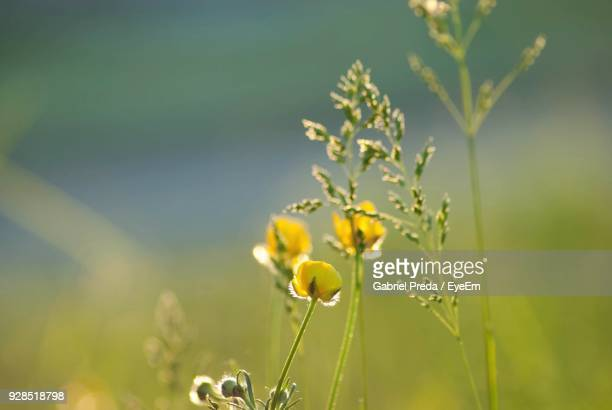 close-up of yellow flowers blooming in field - botoșani romania stock pictures, royalty-free photos & images