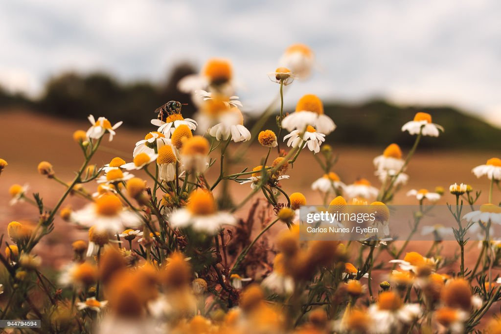 Close-Up Of Yellow Flowers Blooming On Field Against Sky : Stock Photo