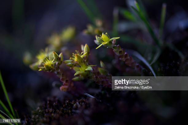 close-up of yellow flowers blooming on field - brezinska stock pictures, royalty-free photos & images