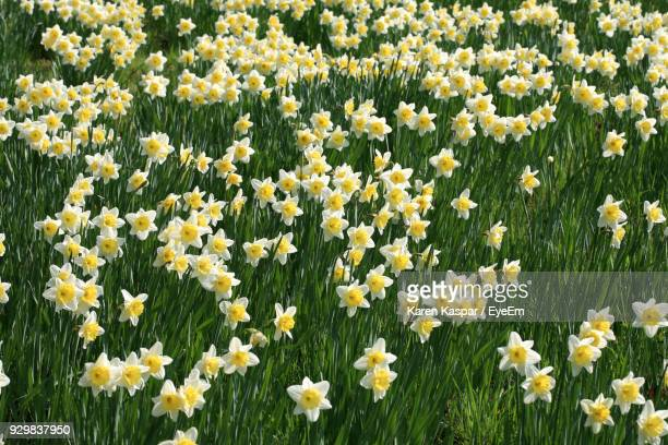 close-up of yellow flowers blooming on field - field of daffodils stock pictures, royalty-free photos & images