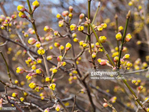 close-up of yellow flowers blooming on tree - monika gregussova stock pictures, royalty-free photos & images