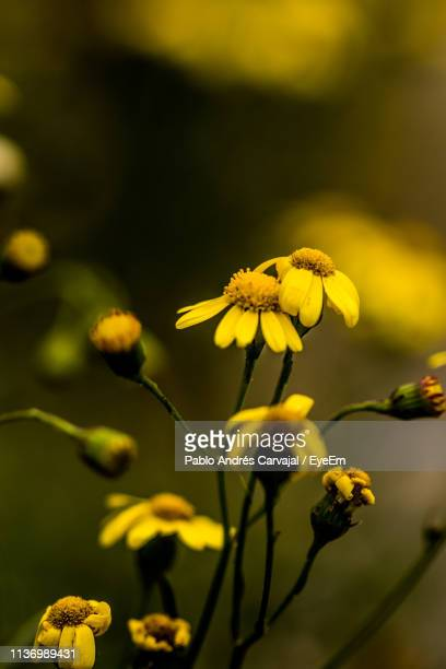 close-up of yellow flowers blooming outdoors - carvajal stock photos and pictures