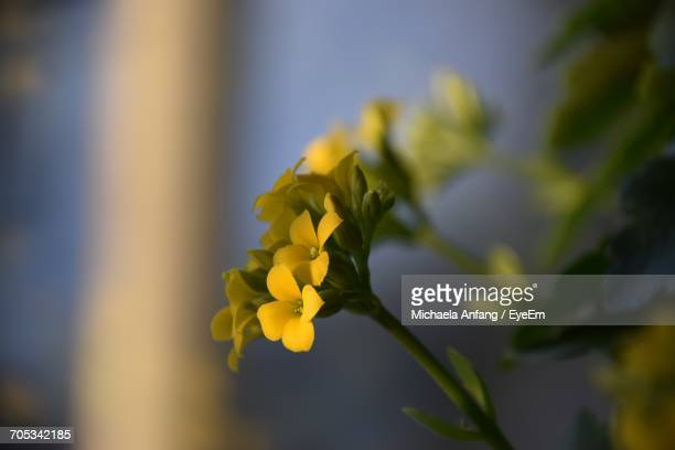 close-up of yellow flowers blooming outdoors - anfang stock pictures, royalty-free photos & images
