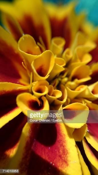 close-up of yellow flowers blooming outdoors - oskar stock pictures, royalty-free photos & images