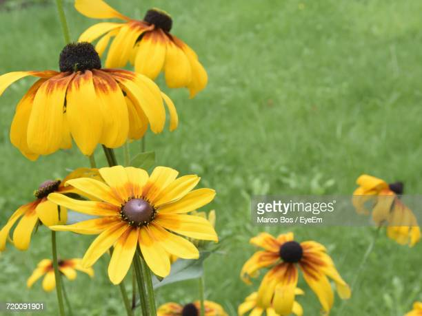 close-up of yellow flowers blooming outdoors - bos stock pictures, royalty-free photos & images