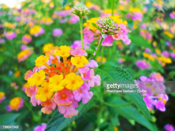 close-up of yellow flowers blooming outdoors - lantana stock pictures, royalty-free photos & images