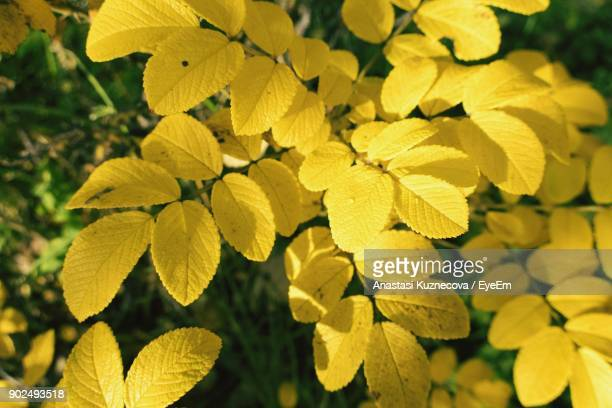 close-up of yellow flowers blooming outdoors - anastasi foto e immagini stock