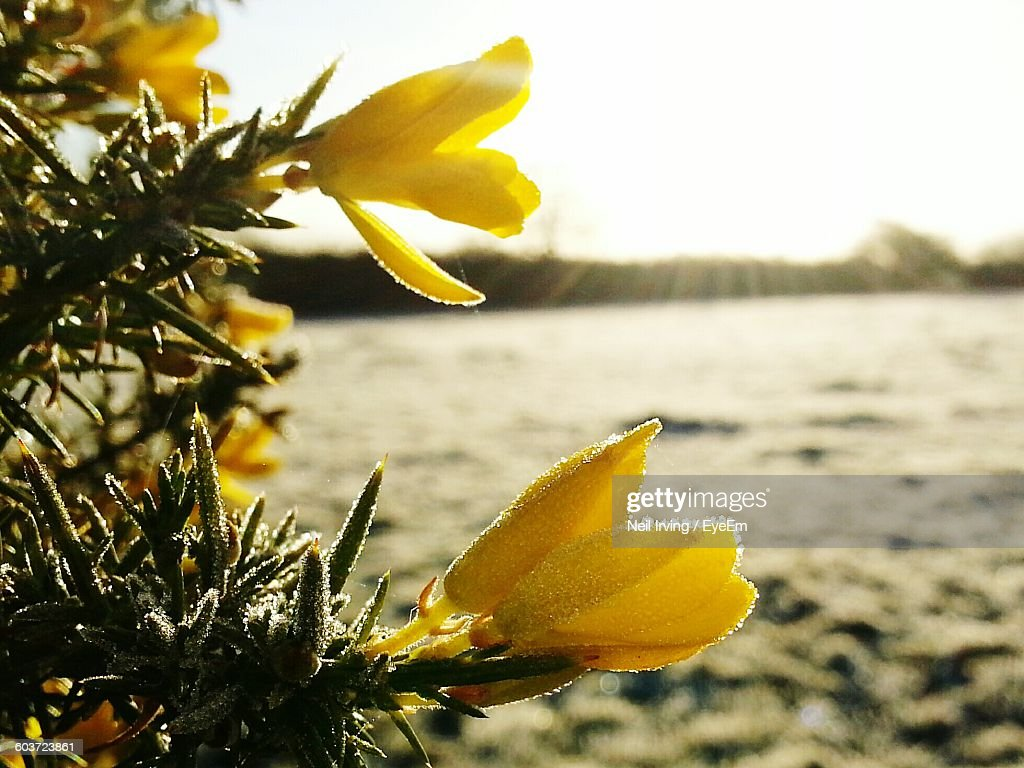 Closeup Of Yellow Flowers During Winter Stock Photo Getty Images