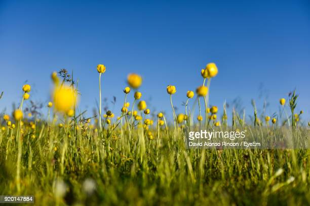 Close-Up Of Yellow Flowers Growing In Field Against Clear Sky